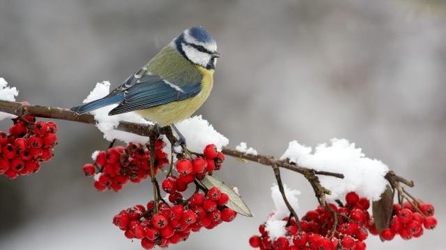 berries-bird-branch-snow-winter-animal